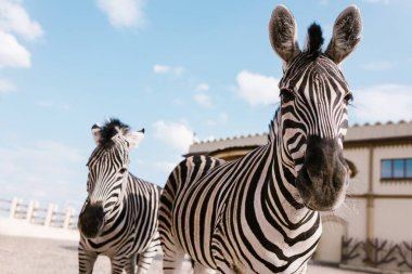 Closeup shot of two zebras grazing in corral at zoo stock vector