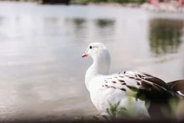 close up view of andean goose sitting near water surface at zoo