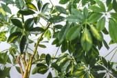 Selektivní fokus schefflera větví se zelenými listy, které jsou izolovány na šedém pozadí