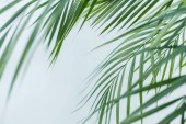 Fotografie close up view of palm leaves isolated on grey background