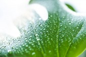 Fotografie close up view of green leaf with water drops on blurred background