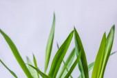 szelektív összpontosít elszigetelt szürke háttéren zöld levelek
