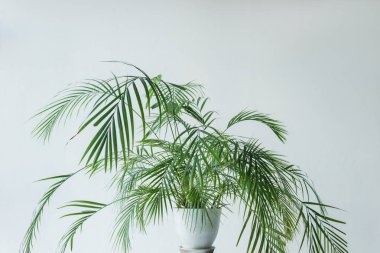 palm with green leaves in pot isolated on grey background