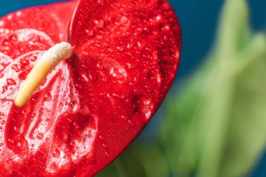 Close up shot of red anthurium and leaves on blurred background stock vector