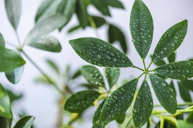 close up view of schefflera leaves with water drops on blurred background