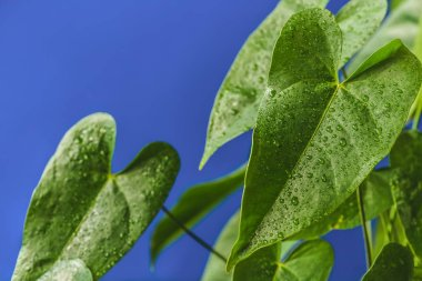close up view of green tropical leaves with water drops isolated on blue background