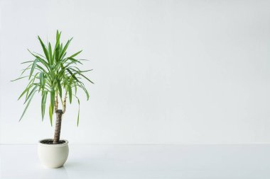 palm with green leaves in pot on grey background, minimalistic concept