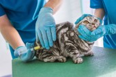 cropped image of two veterinarians making vaccination to british shorthair cat at clinic