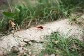 Photo selective focus of red dragonfly on ground near grass