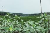 Fotografie Selektivní fokus zelených listů v louce