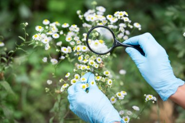 cropped image of female scientist in latex gloves looking at chamomiles by magnifier