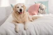 cute golden retriever dog lying on bed children room