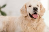 close up of cute golden retriever dog lying and sticking tongue out at home