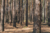 Photo selective focus of tree trunks in summer woods