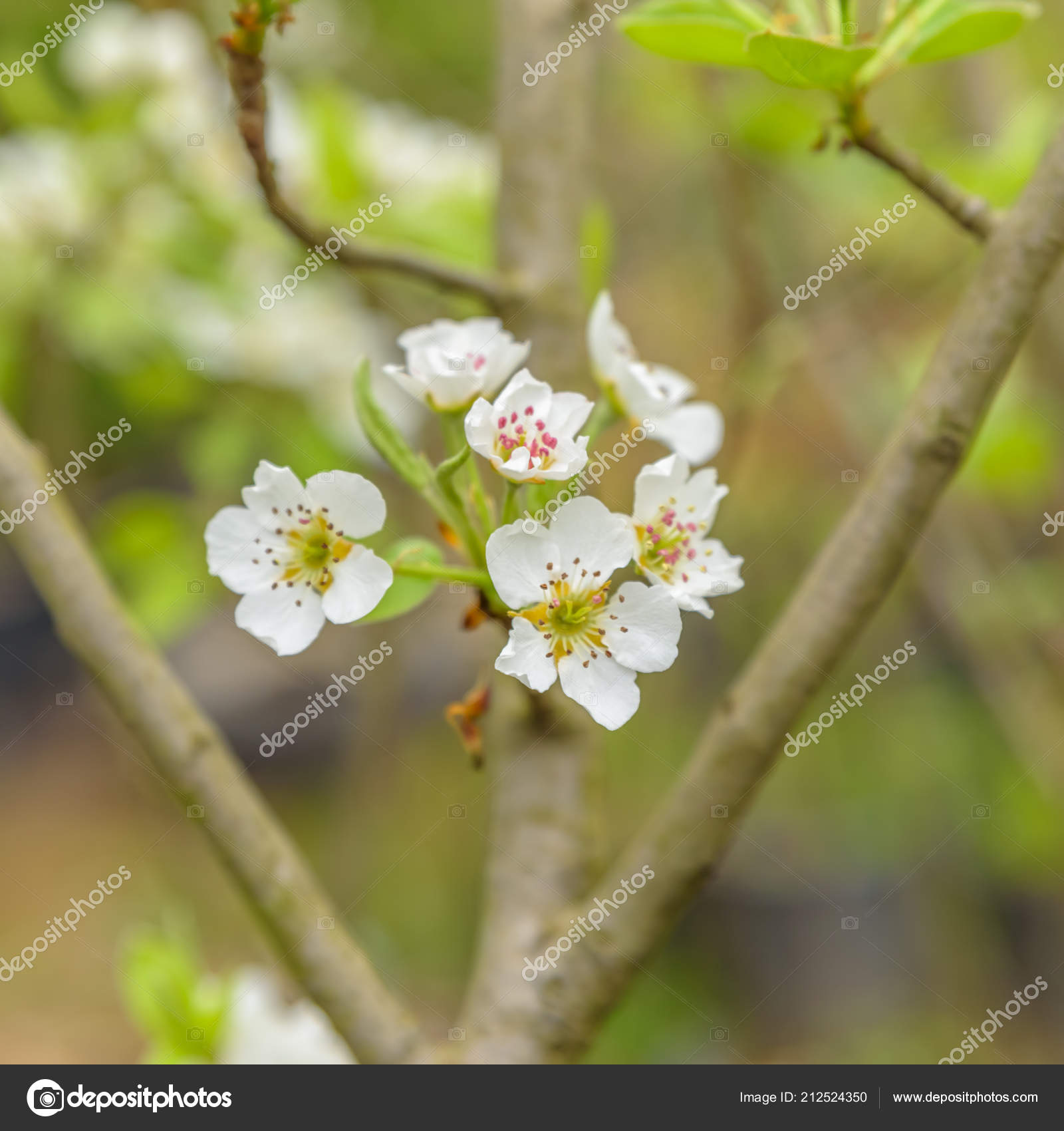 Soft View White Flowers Flowering Quince Cydonia Oblonga Natural