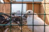 Fotografia Piccioni dal vivo tenuti in gabbie ed esposto per la vendita al bazar di piccione in Istanbul, Turchia