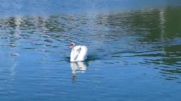 Nagy fehér hattyú úszik, tiszta vízben