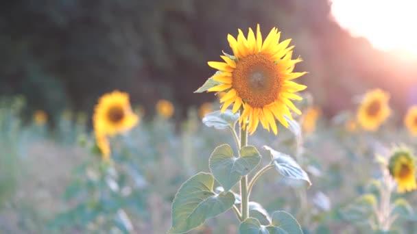Slunečnice na poli před lesem při západu slunce za větrného letního večera, mělká Hloubka pole