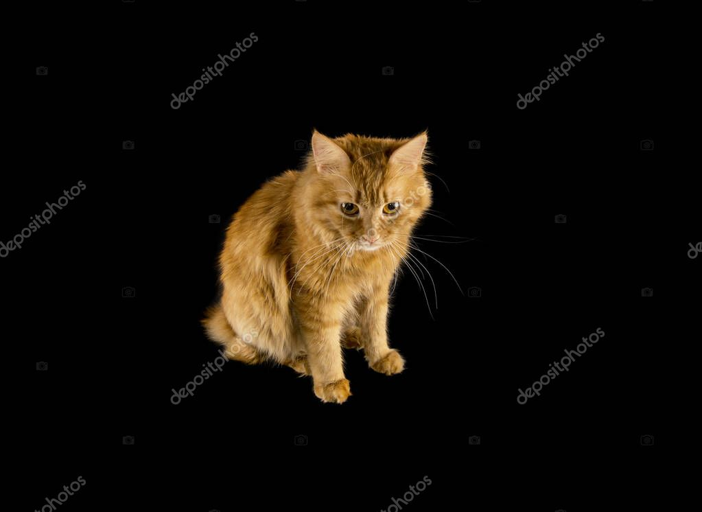 bobtail red cat ginger on isolated black background