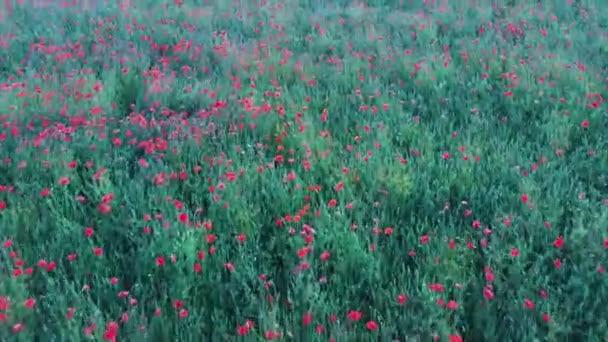 Felett repülő mező Poppy virágok Légirács shoot. A vörös virág mező mák természet zöld nyári égbolt Landscape Meadow.