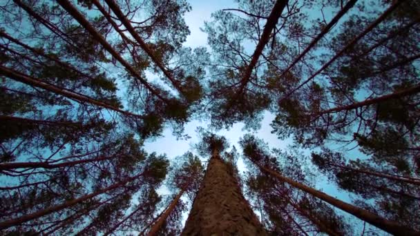 Pine Trees Blowing in the Wind With  Blue Sky Background, Bottom View. Pine Forest Looking Up to the Tree Crowns