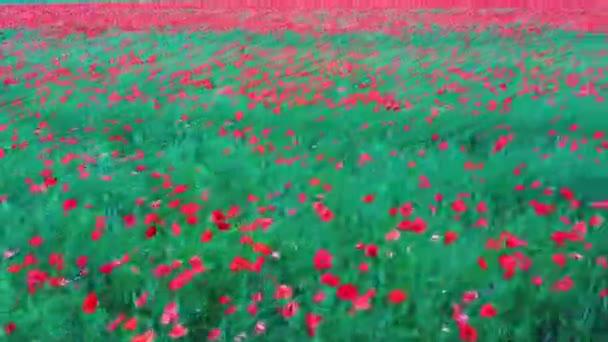 Pole kvetoucích červených máků. Krásné květiny a letní příroda kompozice. Letecká střelba. Pole Červeného květu Poppy Příroda Zelená Letní Krajina Louka.