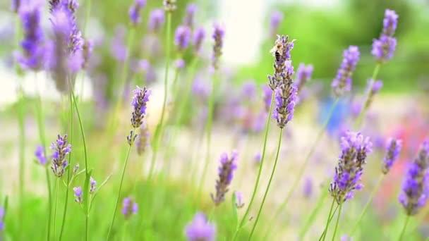 Lavender in mediterranean garden