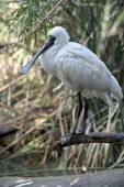 the young royal spoonbill is perched on a tree branch