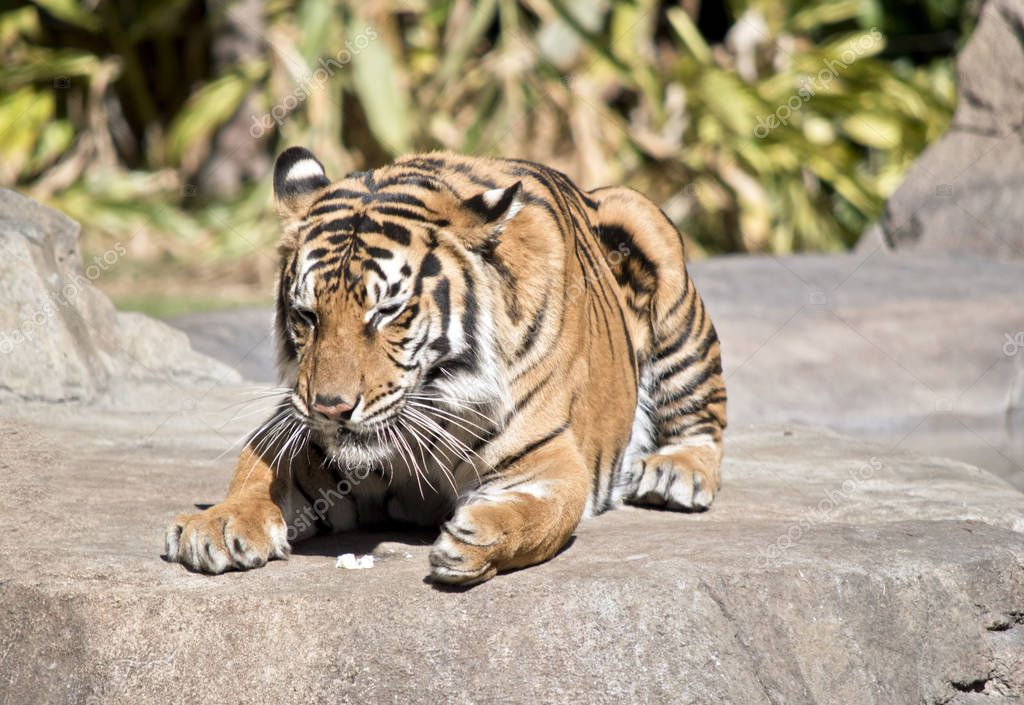 the bengal tiger is resting on a rock eating