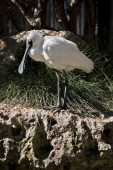 the royal spoonbill is standing on rocks looking for food