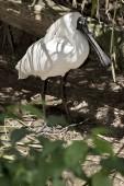 Královská kolpíků hledá hůl pro jeho hnízdo