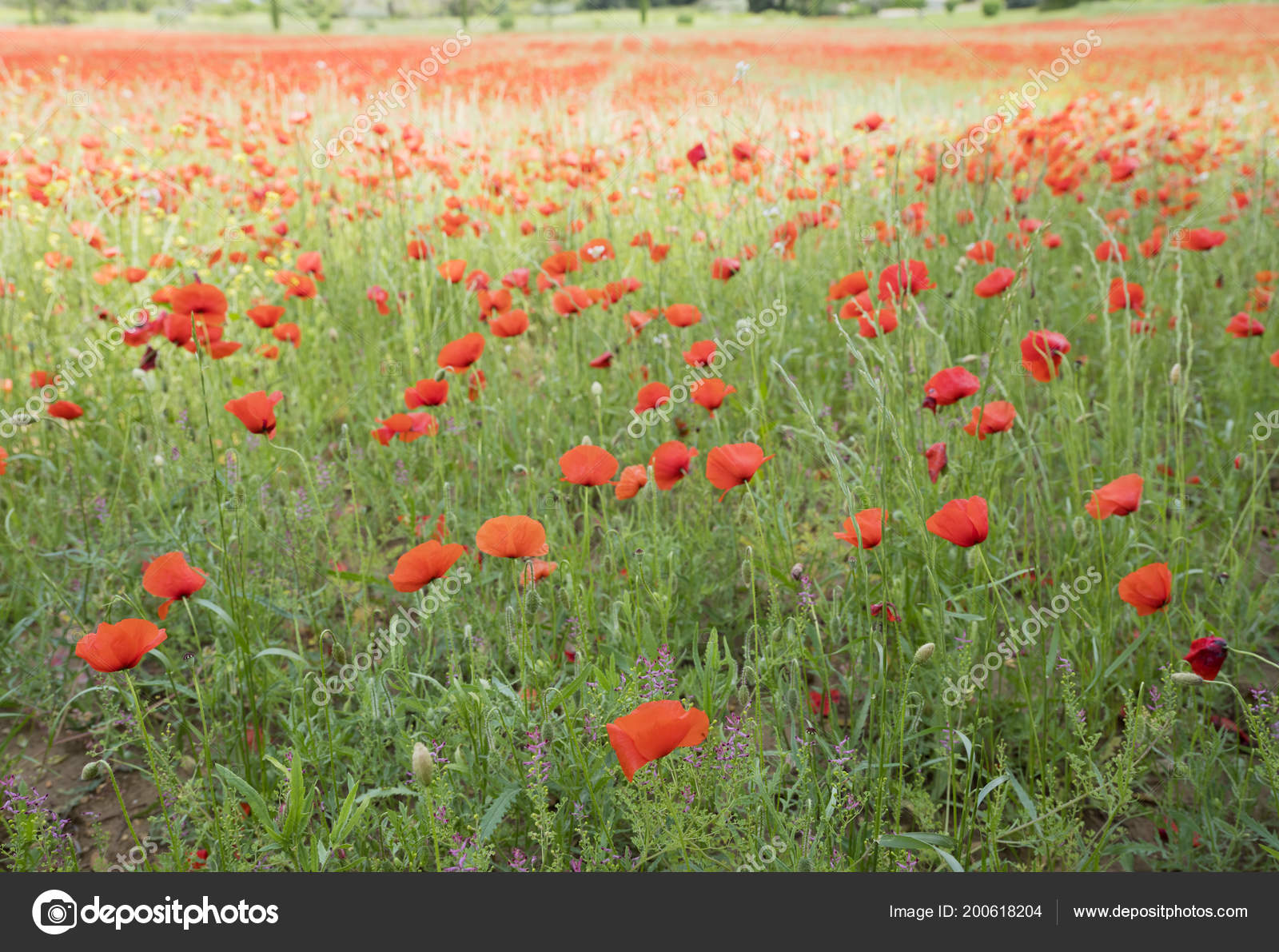 Field full of blooming poppies in french provence area in summer field full of blooming poppies in french provence area in summer stock photo mightylinksfo