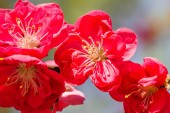 Chaenomeles japonica, known as Maules quince, a species of flowering quince.