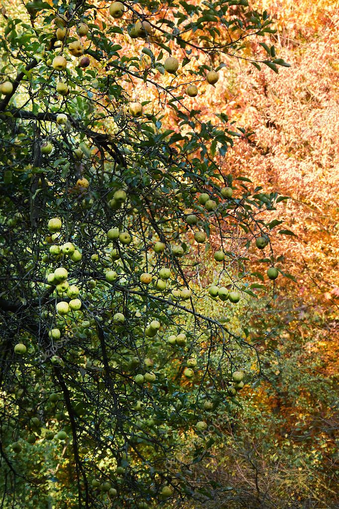 Apple tree on the background of the forest in autumn colors.