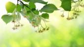 Kvetoucí větvičky lípy s listy na přirozené pozadí zelené
