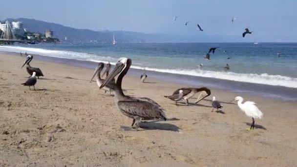 Pelikanvogel am Strand