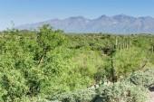 Óriás Saguaro a déli Arizon