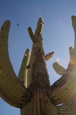 Giant Saguaro in Southern Arizona