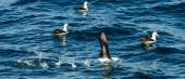 Fotografie Albatros sundala