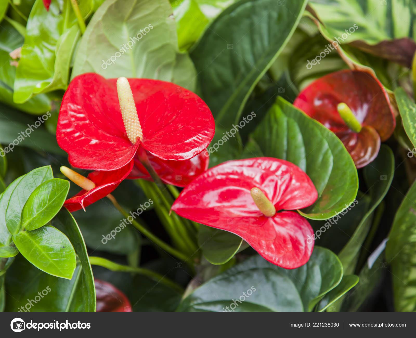 Belle Fleur Rouge Dans Jardin Photographie Bellena C 221238030