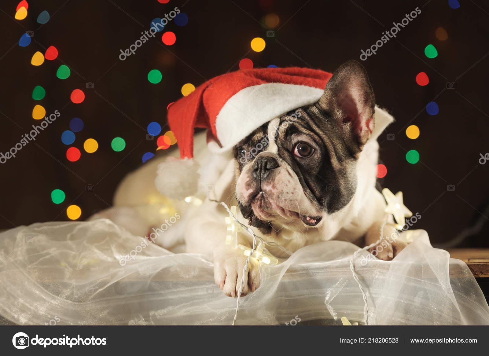 Kerstmuts Met Licht : Franse bulldog kerstmuts garland licht achtergrond horizontale
