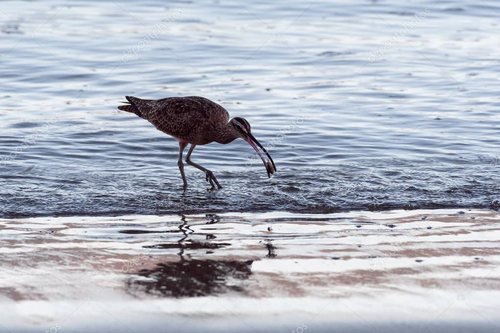 Close up of a Long-Billed Curlew hunting for breakfast along the shore in Guanacaste, Costa Rica