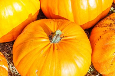 Natural autumn fall view pumpkin on eco farm background. Inspirational october or september wallpaper. Change of seasons, ripe organic food concept. Halloween party Thanksgiving day