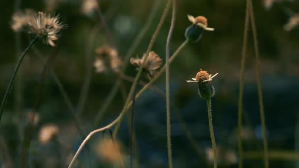 Dlouhý kabát tlačítka Tridax sedmikráska, divoké sedmikráska květ rozmazaný za ranní slunce