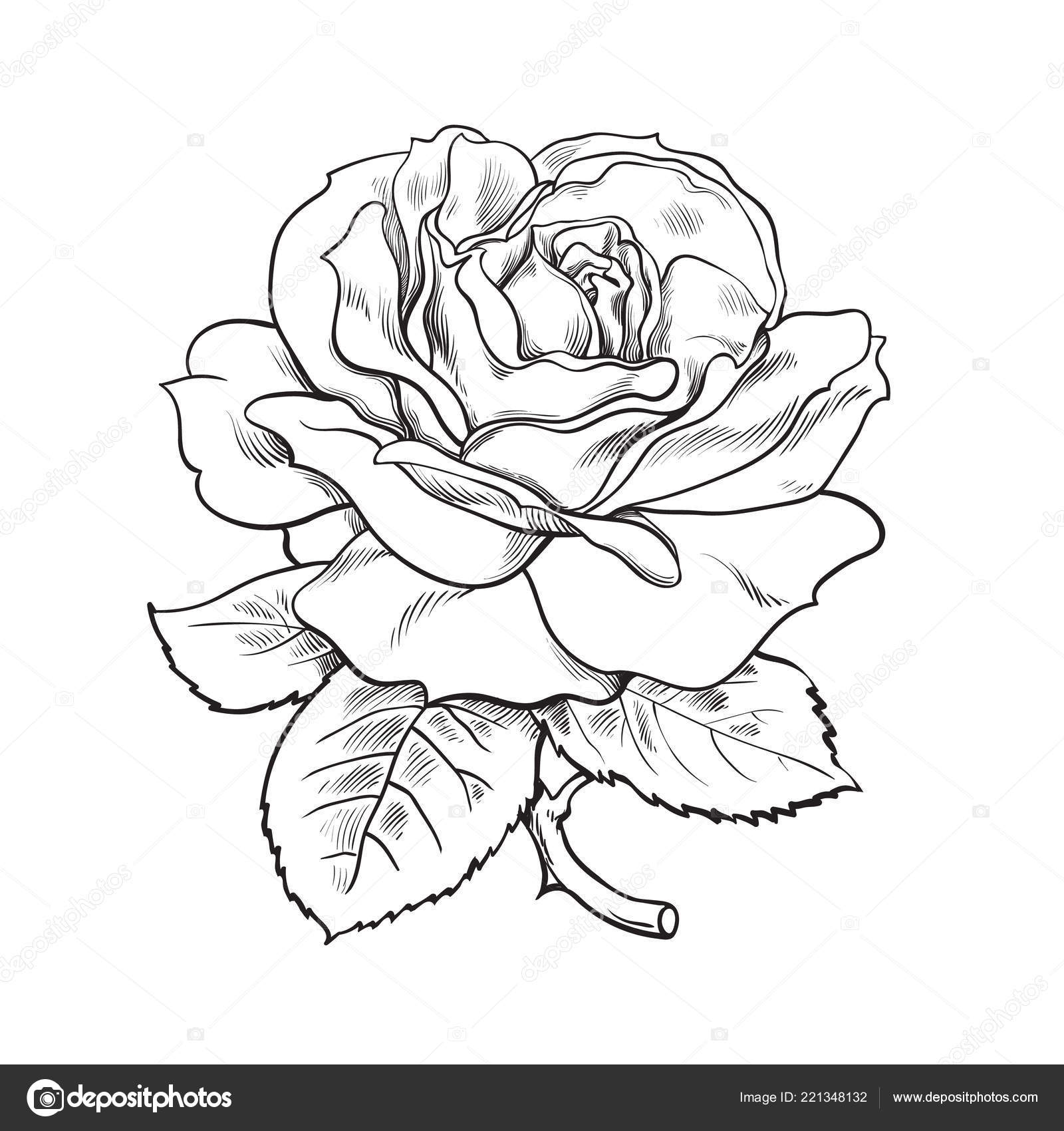 Black And White Rose Flower With Leaves And Stem Vector