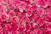 Poupata krásné, čerstvé červené růže.
