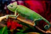 Photo Green chameleon on the branch
