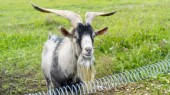 Dospělý samec kozy na farmě