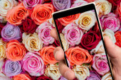 Beautiful pink roses on smartphone screen. Floral abstract background for wedding and engagement.