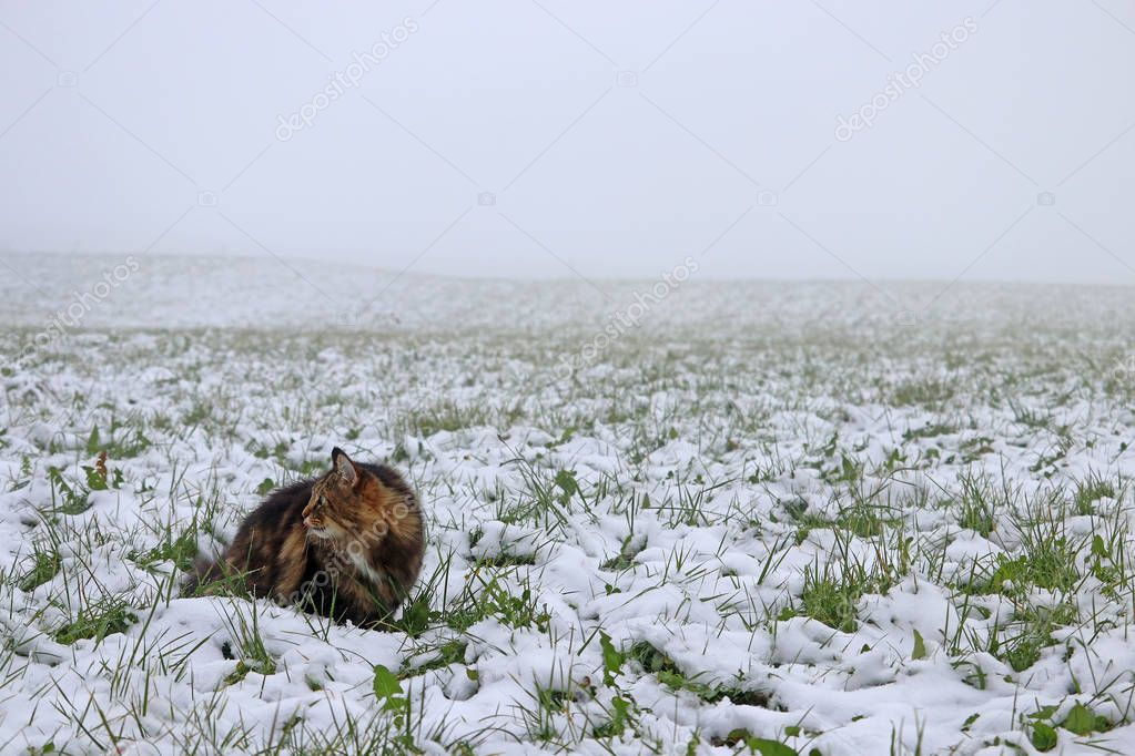 A Norwegian Forest Cat sits in fog in a snow-covered field
